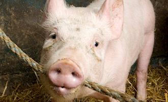 Colômbia quer evitar a presença de granjas de suínos na área urbana