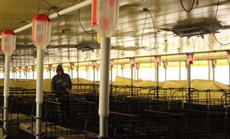 Software inédito no Brasil facilita a gestão de granjas de suínos