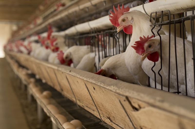 JBS se compromete a usar ovos livres de gaiolas até 2020