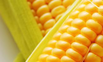 Preços do milho seguem tendências distintas entre regiões, mas recuos prevalecem