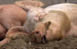 Epidemia de peste suína tem impacto limitado em preços na China, diz consultoria