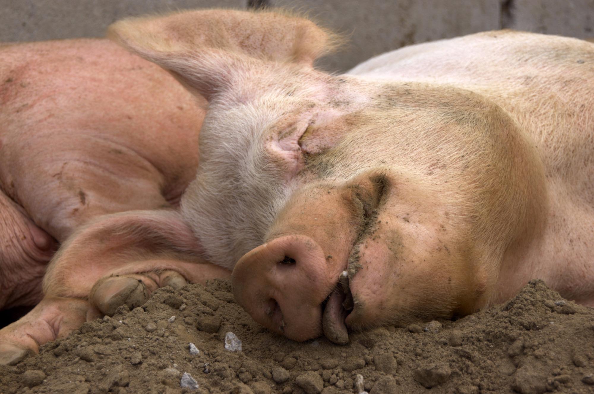 China reporta novo caso de Peste suína africana