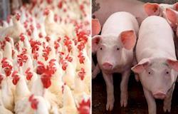 Soluções para evitar antibióticos na alimentação de animais são apresentadas