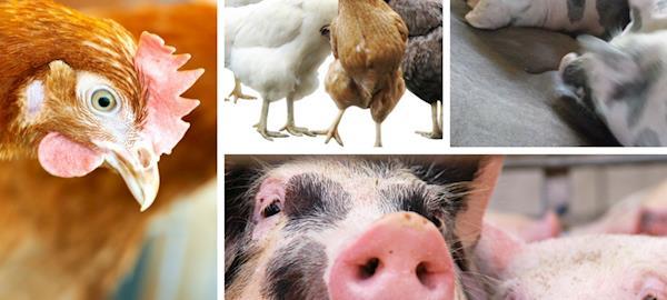 Empresas brasileiras avançam em relação ao bem-estar animal