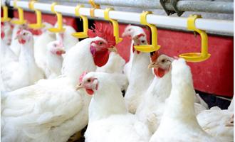 Controles sanitários rígidos mantêm avicultura em alta mesmo com coronavírus