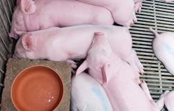 Preferência de suínos em relação a diferentes sistemas de resfriamento