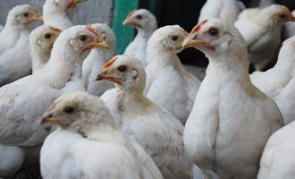 Avicultura do Nordeste cresce, mas faltam grãos