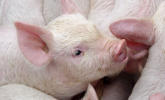 Valores do suíno vivo reagem em muitas regiões