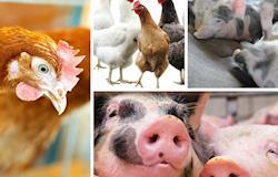 OMS recomenda que antibióticos deixem de ser usados em animais saudáveis