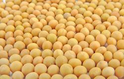 Produção de soja em Santa Catarina deverá crescer 7%