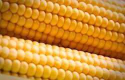 Avicultura mineira analisa importação de milho para suprir mercado agroindustrial