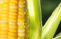 Exportações de milho pelo Porto de Santos atingem 69,433 mil/t em março