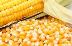 Preço do milho segue firme no mercado interno