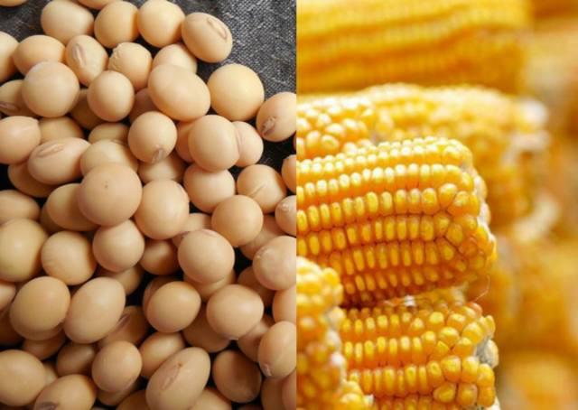 Milho e soja voltam a subir no mercado interno
