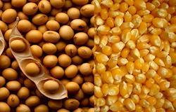 Milho e Soja, milho e soja, fotos atualizadas