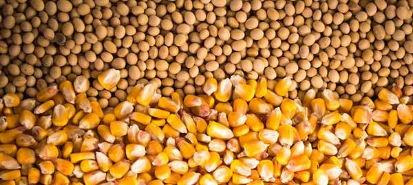 Preço do milho sobe e da soja se mantém, aponta Cepea