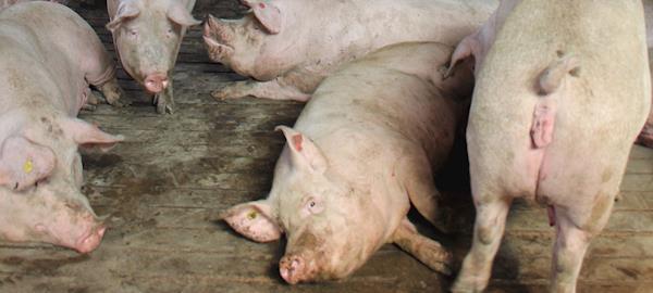 Estresse na porca e perda embrionária no início da gestação