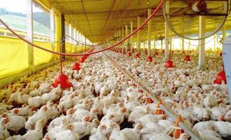 Webinar apresenta os desafios e inovações em ambiência na produção de aves