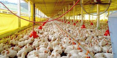 Poder de compra de frango frente a insumos de alimentação segue em recuperação