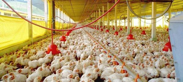 Gastos com nutrição sobem e custos da produção de frangos de corte têm nova alta em outubro