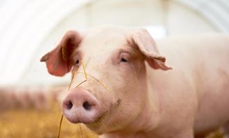 Preços recordes do suíno vivo ampliam poder de compra do suinocultor
