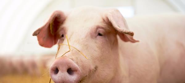 Rim de porco pode ser transplantado em humanos