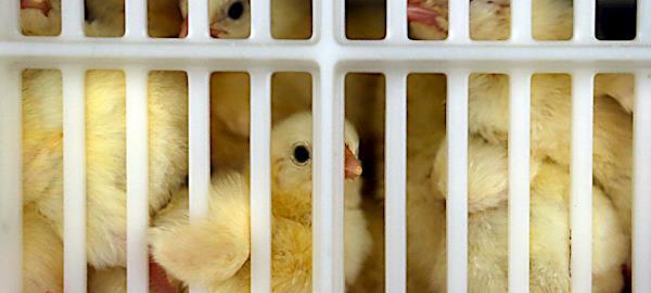 Setor avícola afasta ameaça de crise e fecha 1º semestre com 12 mil novos empregos