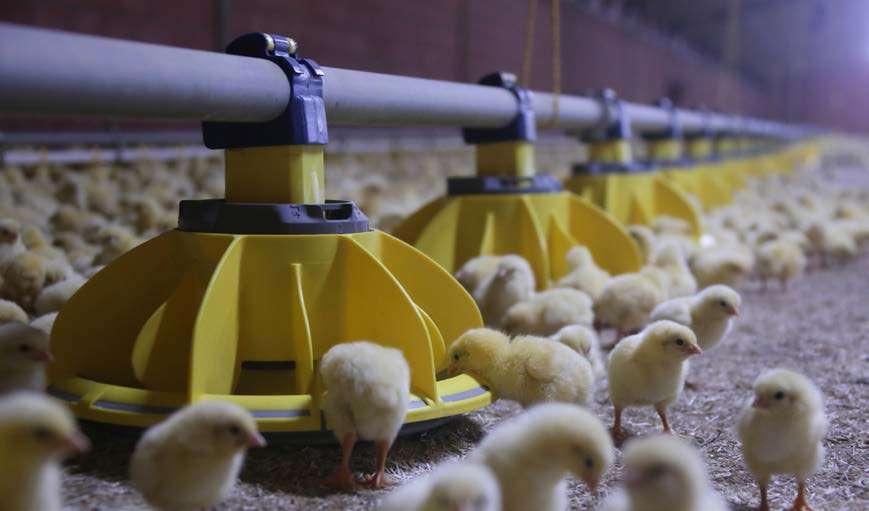 Pellets é opção sustentável para aquecimento em granjas