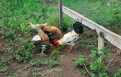 Moringa e mandioca substituem milho e soja na alimentação de galinhas