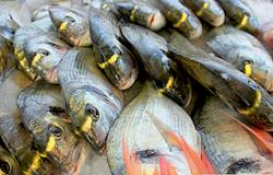 Peixes caem nas redes do Paraná