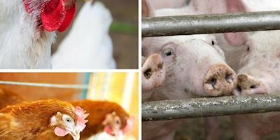 Custos de produção de frangos de corte e de suínos ficam mais caros em agosto