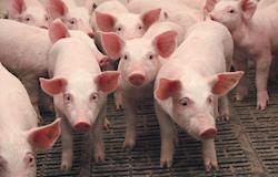 Mapa publica Instrução Normativa sobre compartimentação da produção de suínos