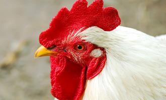 Espanha tem maior custo de produção de frango na União Europeia