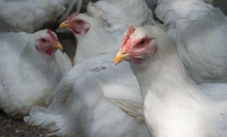 Setor de aves na Índia busca empréstimo após rumores sobre vírus