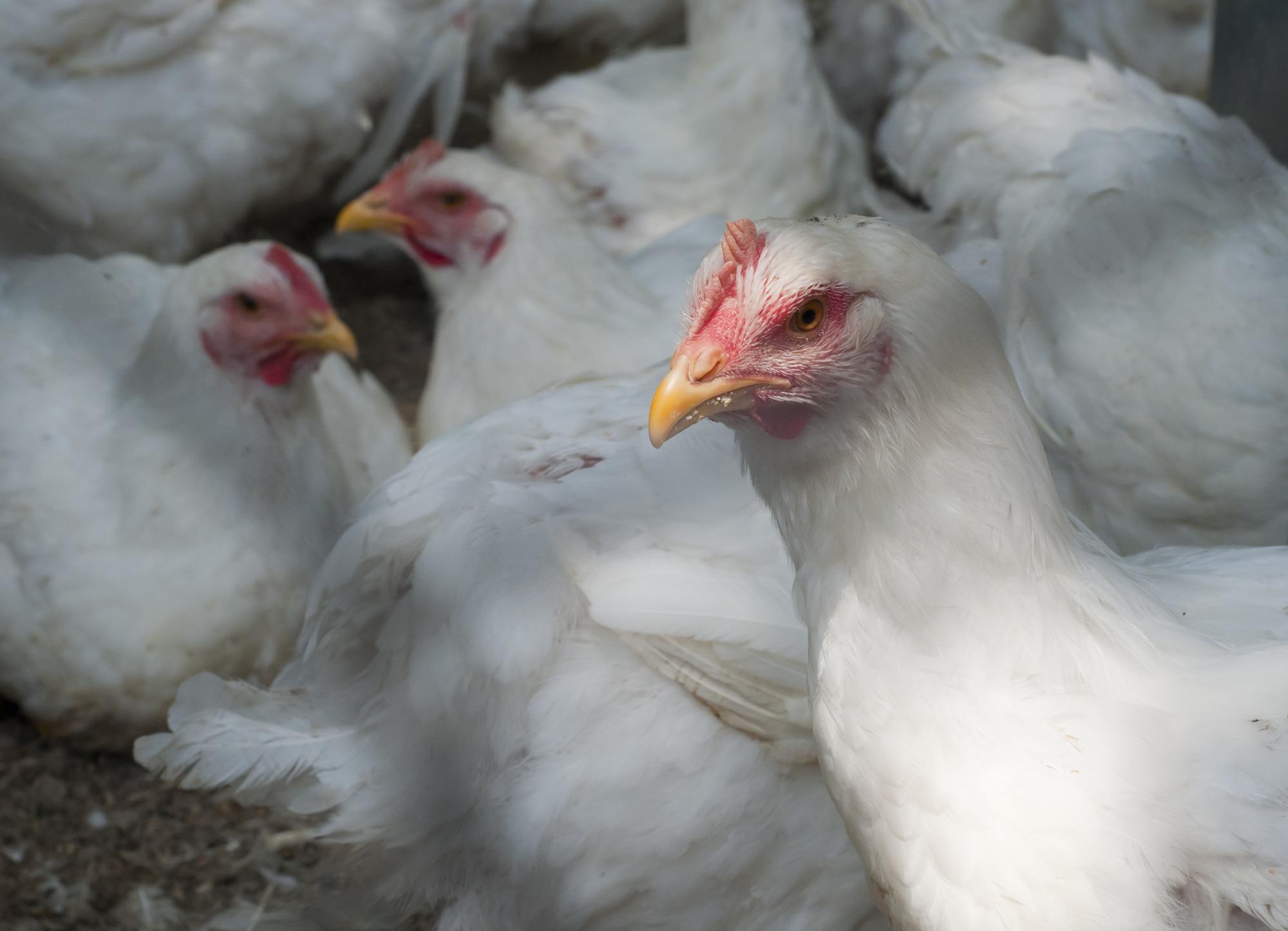 Preço pago ao avicultor deve registrar alta expressiva no primeiro semestre deste ano diz Famasul