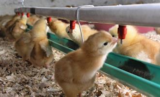Pesquisador fala sobre tratamento da água dos bebedouros de aviários e o uso de cloro no procedimento