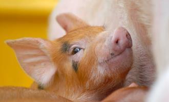 Preços futuros do suíno acumulam sete semanas de alta