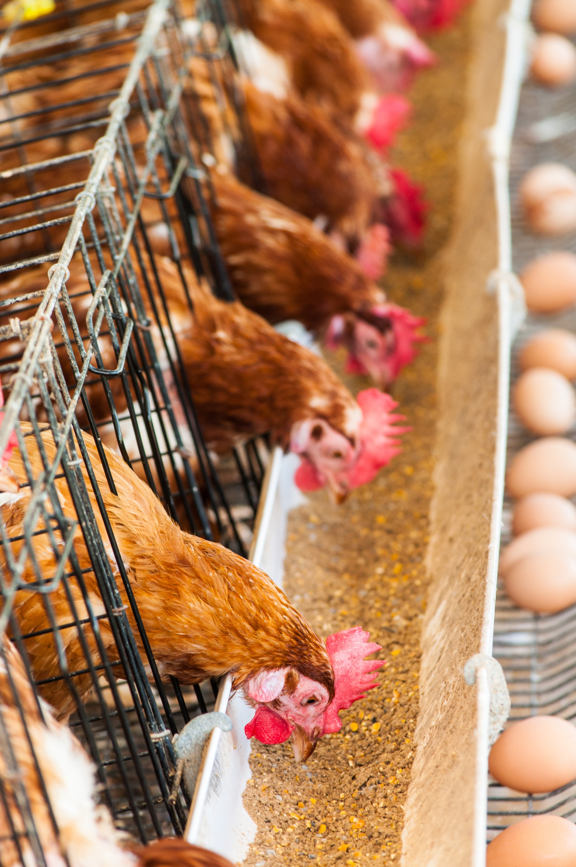 O uso de carboidrases na nutrição avícola: mitos e realidades