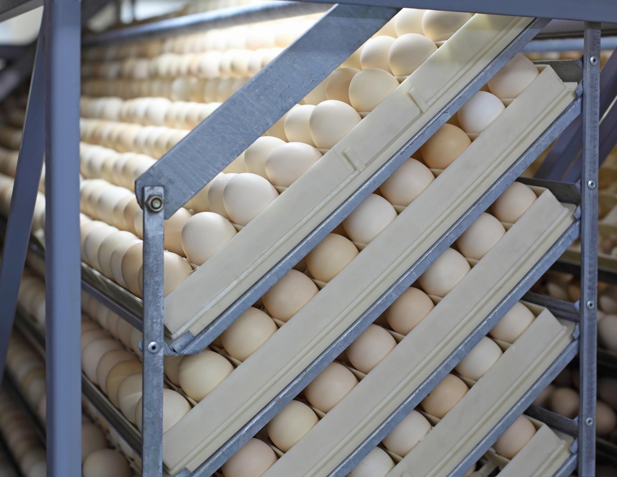 Manipulação térmica e o rendimento de incubação de ovos de pesos distintos de matriz leve