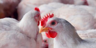 Avicultura de MT renova seguro contra influenza aviária e doença de newcastle