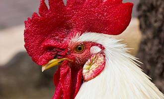 Avicultura em perspectiva evolutiva