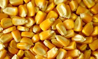 Granulometria do milho para suínos em crescimento e terminação