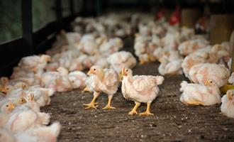 Após 13 anos, avicultores do Acre devem receber licenciamento ambiental