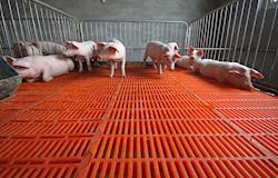 Enzimas exógenas e peletização na dieta de suínos na fase pré-inicial