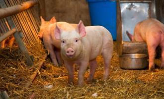 Demanda por carne suína continua em queda e aumenta busca por carne de frango na República Dominicana