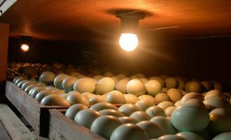 Em live, Roberto Kaefer falará sobre uso de ovos SPF para produção de vacinas