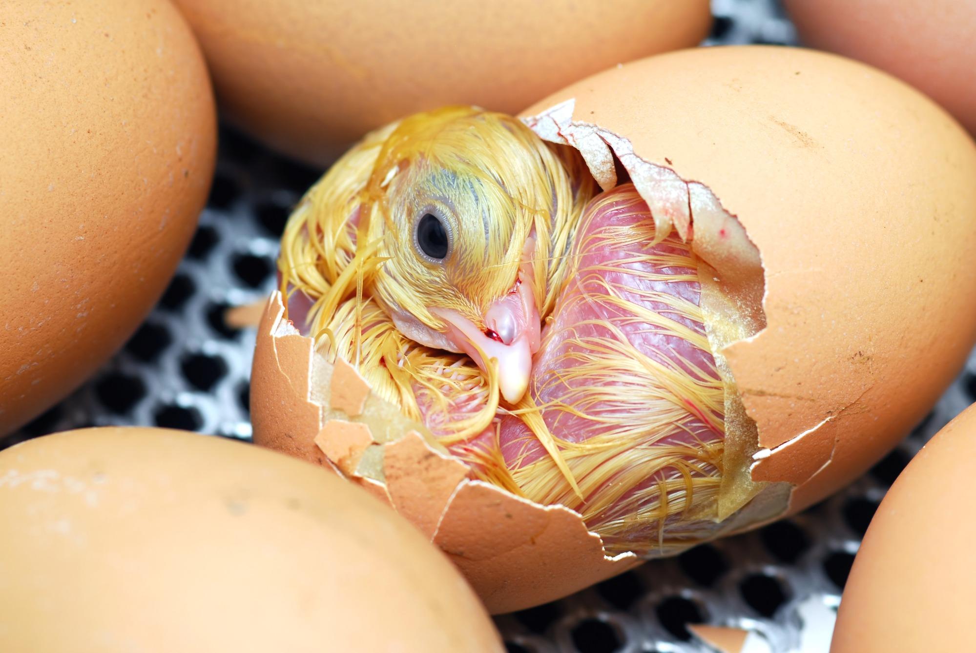 Recomendações para o manejo de ovos de matrizes de frangos e incubação