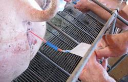 Existe risco no uso intensivo de doses inseminantes durante o período de cio da porca?