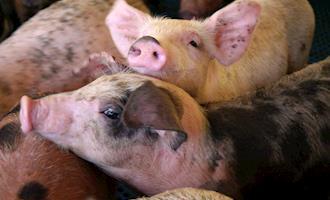 Ferramentas diagnósticas para doenças respiratórias de suínos nas fases de creche e terminação