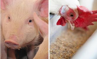 Cresce a preocupação da indústria de aves e suínos com alta de custos